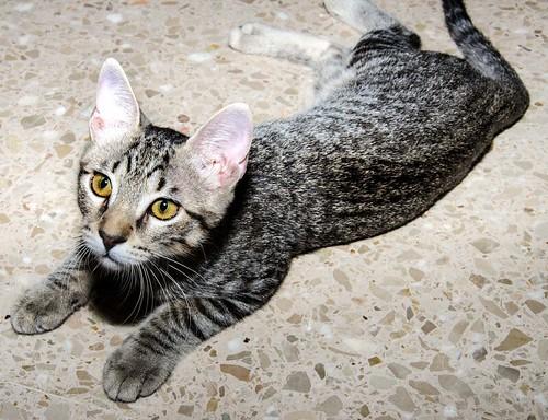 Bonnie, gatita parda monísima y muy lista esterilizada, nacida en Marzo´18, en adopción. Valencia. 29777881378_5eb237ef80