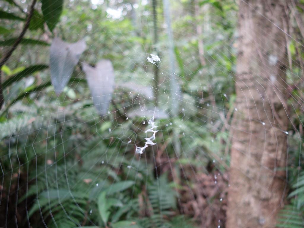 眼點金蛛的不規則形隱帶,網上還有許多白點。