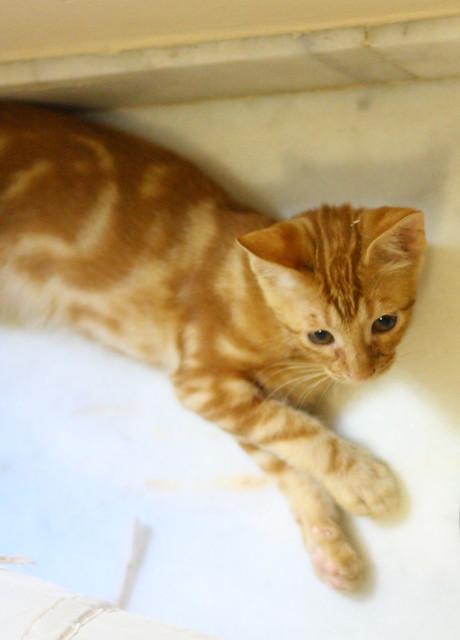 Rowen, gato rojo dibujo tabby activo y guapo esterilizado nacido en Abril´18, en adopción. Valencia. ADOPTADO. 43002749375_d78bd80df1_z