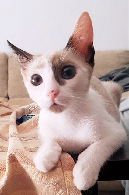 Bora, gatita Siamesa tricolor traviesa y monísima esterilizada, nacida en Marzo´18, en adopción. Valencia. RESERVADA. 43907494911_84054e3d1d_z