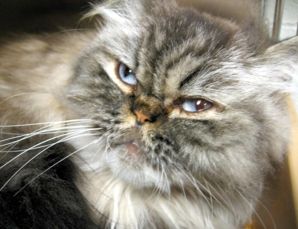 Persian or Persian Mix Cats