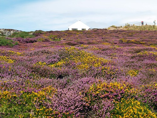 Heather and Gorse | by saxonfenken