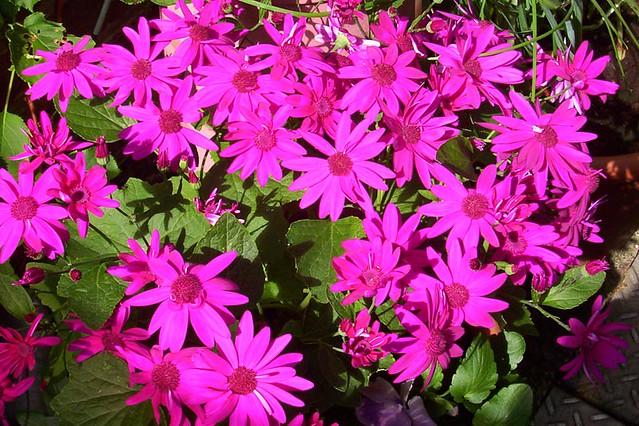 Sinetti dozens of shocking pink flowers bill wakefield flickr sinetti by billnbenj sinetti by billnbenj mightylinksfo