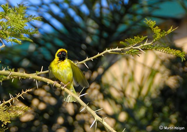 Masked Weaver In Paperbark Thorn Tree A Masked Weaver