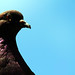 Pigeon Face3