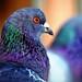 Pigeon Face9