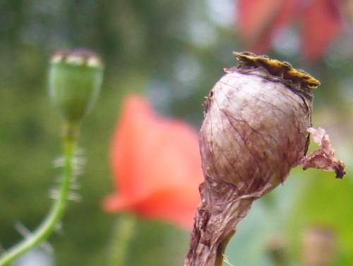noxus poppy how to get