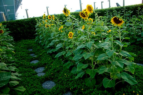 sunflower gardens | at singapore airport, the best airport ...