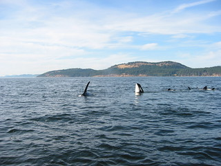 Orcas, Near Victoria, Canada | by Paul Mannix