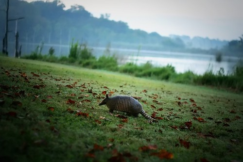 an oblivious dillo at dawn | by slight clutter