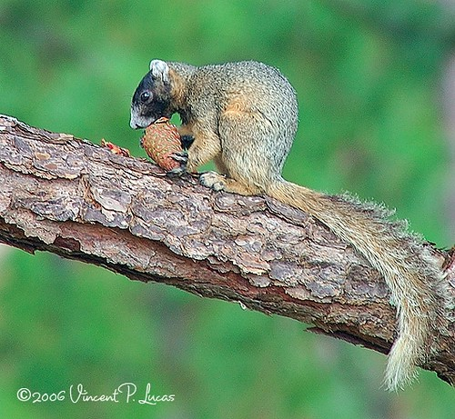 Sherman's Fox Squirrel...