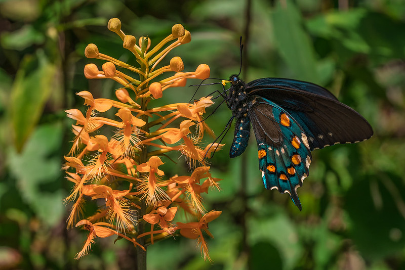 Pipevine Swallowtail pollinating the flowers of a Yellow Fringed orchid