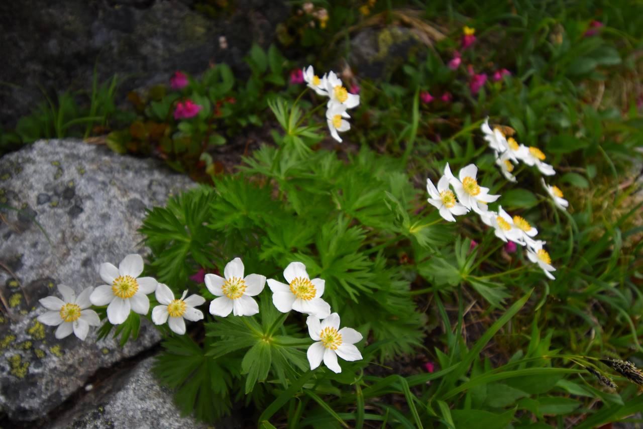 岩場に咲くハクサンイチゲ
