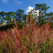 Pink grass at forest in Dalat, Vietnam