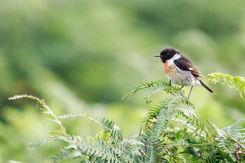 Stonechat on fern | by bizboz