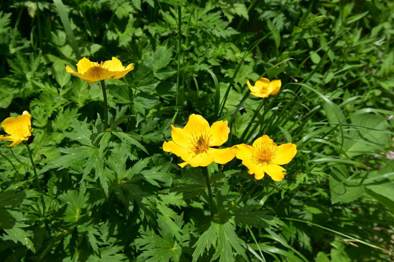 槍沢に咲くシナノキンバイ