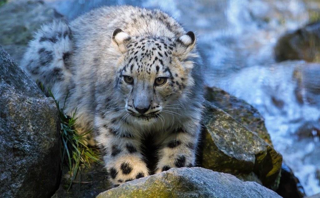 Junger Schneeleopard Fritz Zachow Flickr