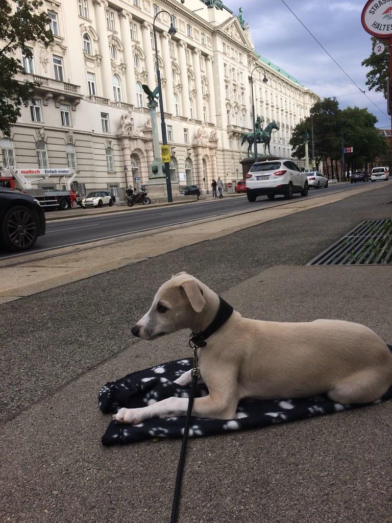 Warten auf die Straßenbahn! Mein Frauchen ist doch echt gut erzogen, oder? Ein Deckchen gehört sich auch für einen Whippetbuben!