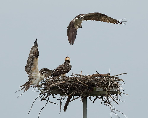 osprey test flight one of the chicks from this nest took. Black Bedroom Furniture Sets. Home Design Ideas
