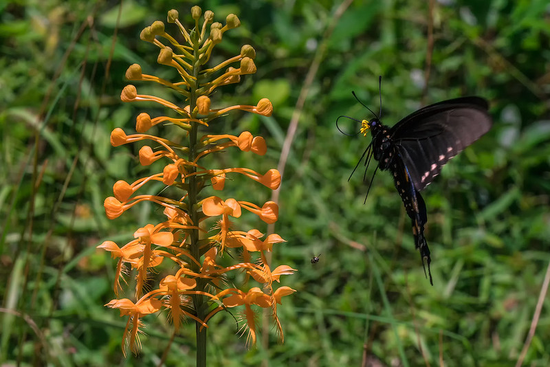 Pollinator (with its buddy) approaching the orchid scape