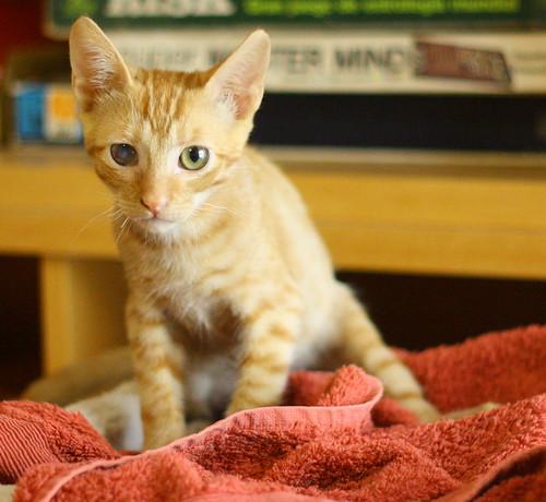 Rohit, gatito naranja cojito súper dulce y bueno, nacido en Abril´18, en adopción. Valencia. RESERVADO. 42098338270_203752ff23