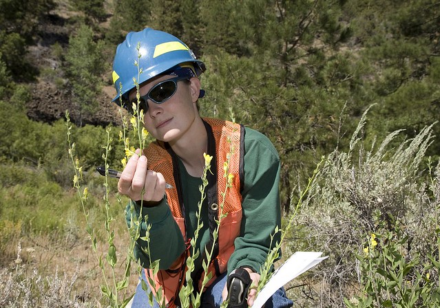 A Forest Service biologist looking at a weed