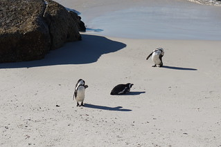 Boulders Beach Penguin Colony, Cape Peninsular, South Africa | by mattk1979