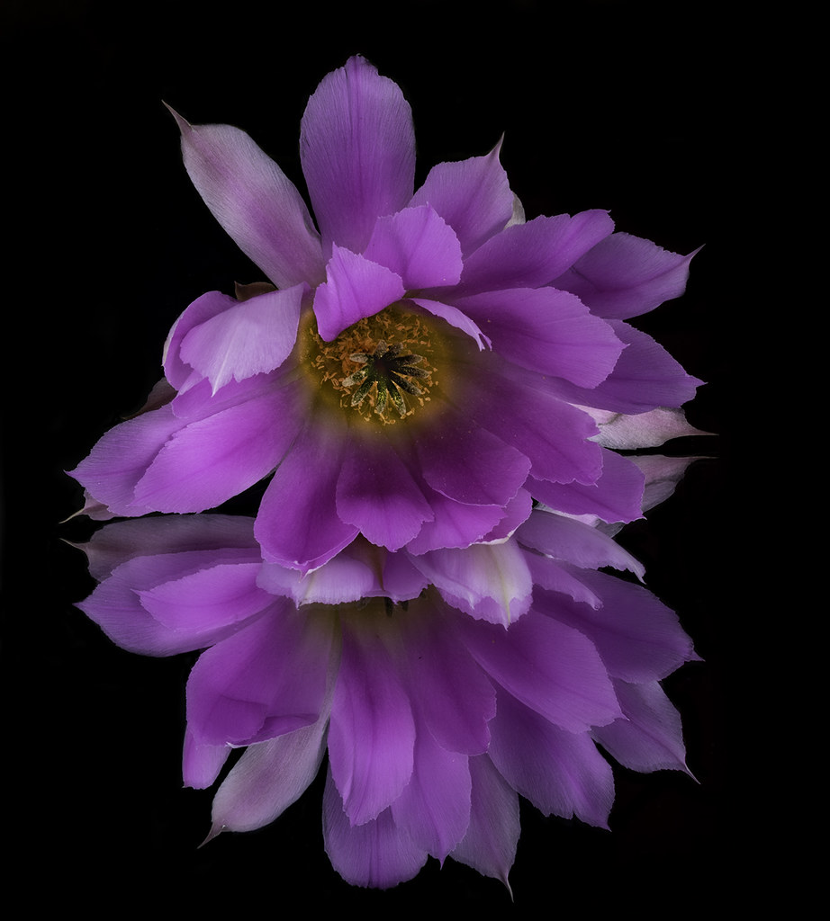 Reflecting On A Pink And White Cactus Flower With A Colorf Flickr
