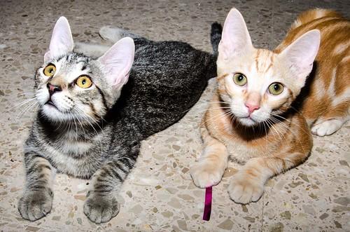 Bonnie, gatita parda monísima y muy lista esterilizada, nacida en Marzo´18, en adopción. Valencia. 42744433425_41cb480d3f