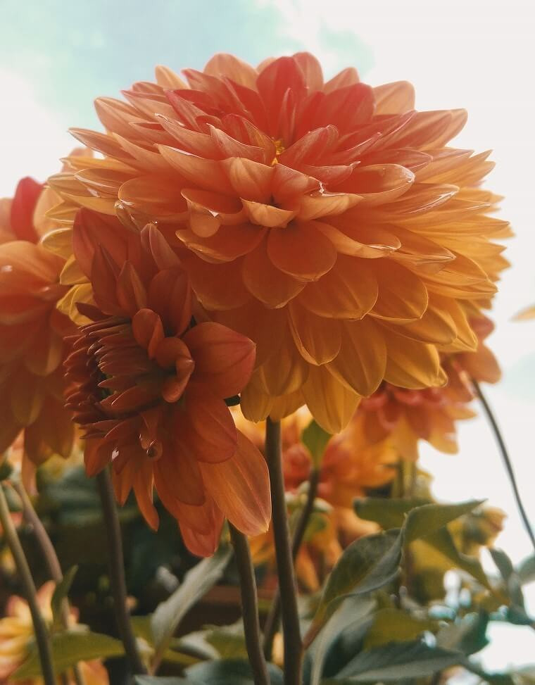 orange dahlia against sky