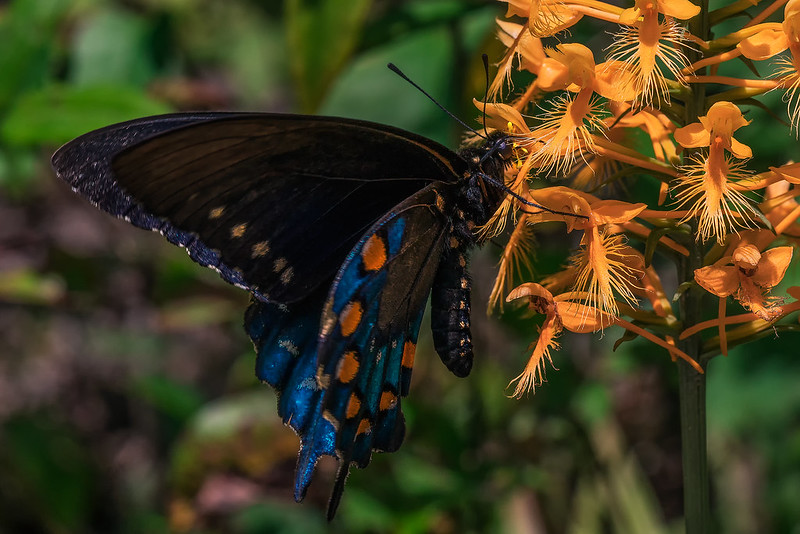 Butterfly pushing way into the flower to get the last dregs of nectar