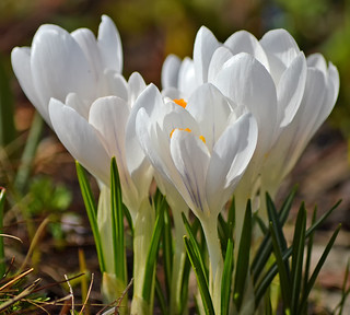 Beautiful spring 2018 🌷 White crocuses. #Finland #Helsinki | by L.Lahtinen (nature photography)