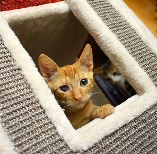 Rohit, gatito naranja cojito súper dulce y bueno, nacido en Abril´18, en adopción. Valencia. RESERVADO. 42098324060_ccf8b292f6