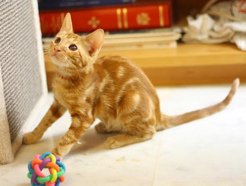 Rowen, gato rojo dibujo tabby activo y guapo esterilizado nacido en Abril´18, en adopción. Valencia. ADOPTADO. 42098393420_da8ca2a4db