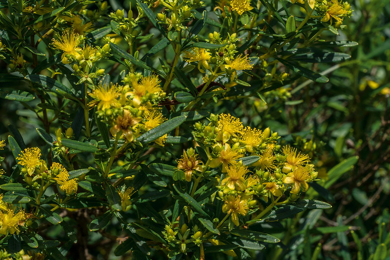 Bushy St. Johnswort