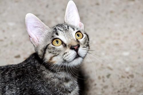 Bonnie, gatita parda monísima y muy lista esterilizada, nacida en Marzo´18, en adopción. Valencia. 43647114921_a30327c666