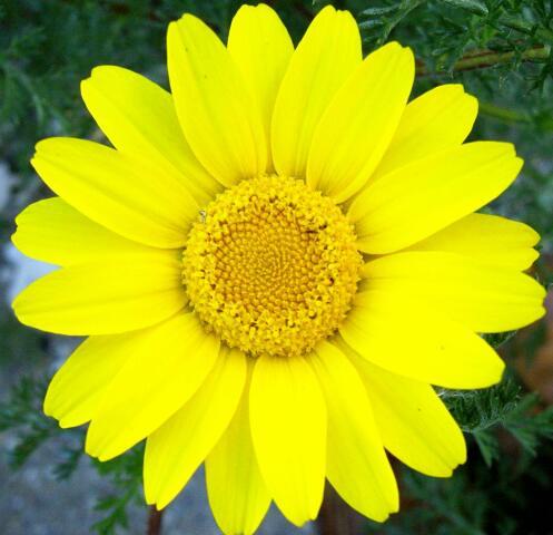 Flor de malmequer | Fl...