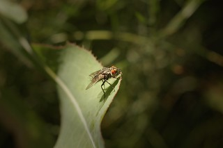 Fly on a leaf | by theilr