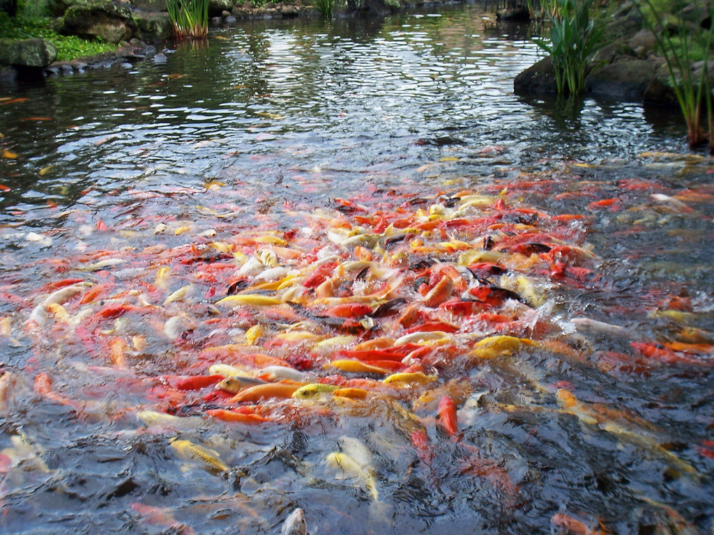Feeding frenzy koi fish at feeding time in the pond at for Plenty of fish hawaii