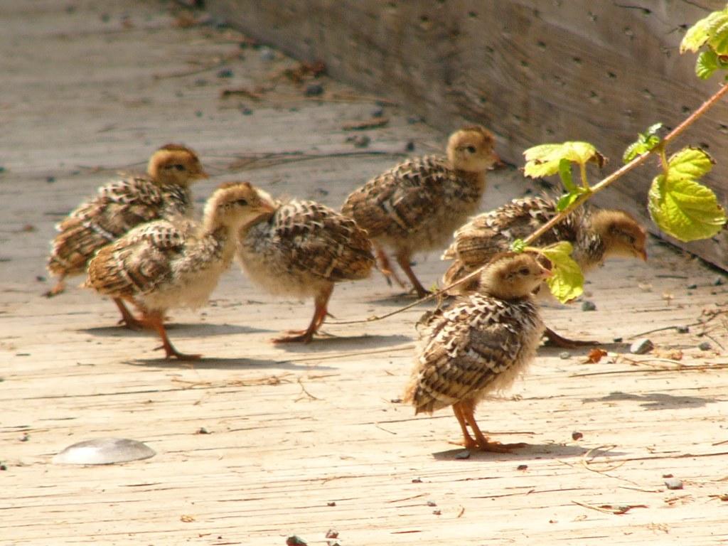 baby quail | Jef Poskanzer | Flickr Quail Chicks