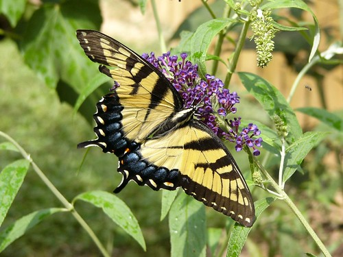 Eastern Tiger Swallowtail | by Paphio