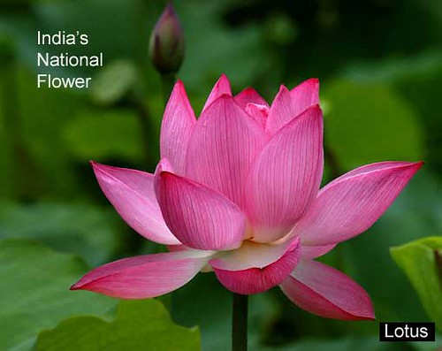 Lotus Flower Indias National Flower This Grows In The Sw Flickr