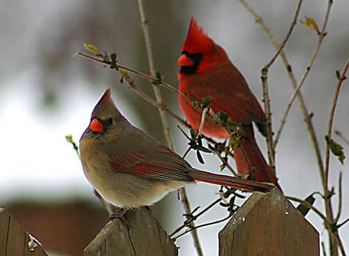 What does a female cardinal bird look like