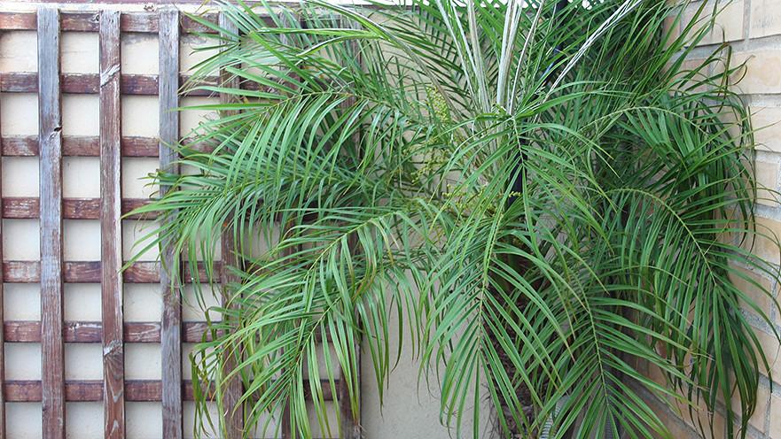 palmera Phoenix planta para ático