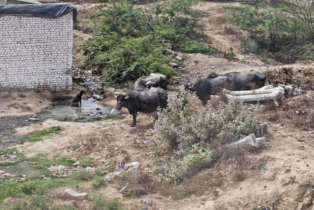 豹傾向避開大型競爭者(老虎)和獵物,潛入村莊獵捕家畜和狗。人與豹的衝突多屬意外事件