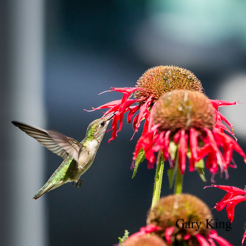 Juvenile  Ruby Throated Hummingbird | by Gary/-King