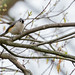 Tufted Titmouse sitting in my tree on a dreary day