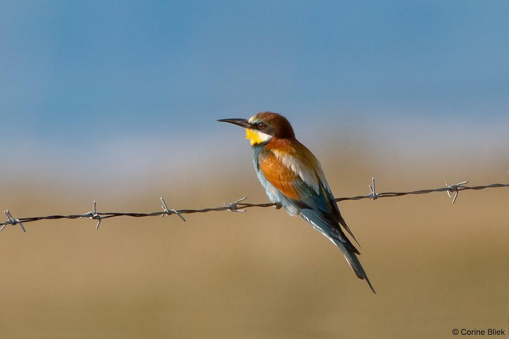 European Bee-eater | Merops apiaster Bijeneter, Bienenfresse… | Flickr