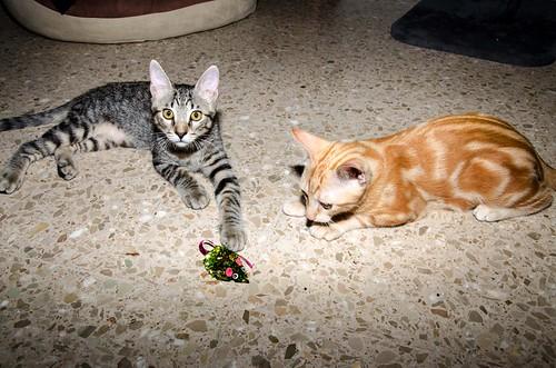 Bonnie, gatita parda monísima y muy lista esterilizada, nacida en Marzo´18, en adopción. Valencia. 29777884388_caa37b2282