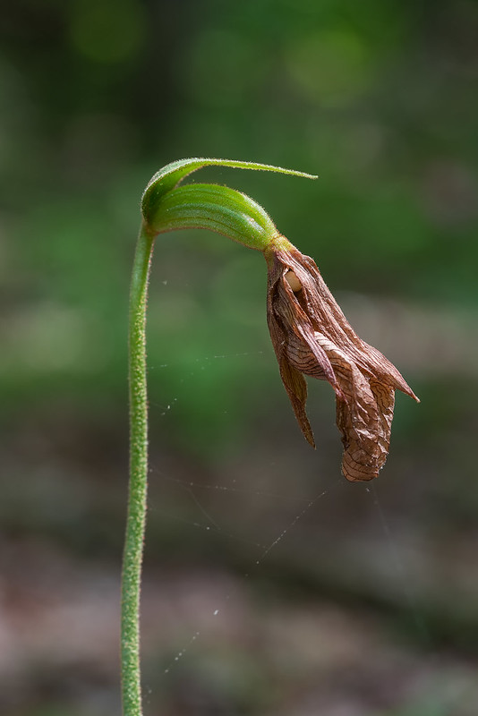 Seed capsule of Pink Lady's-slipper orchid